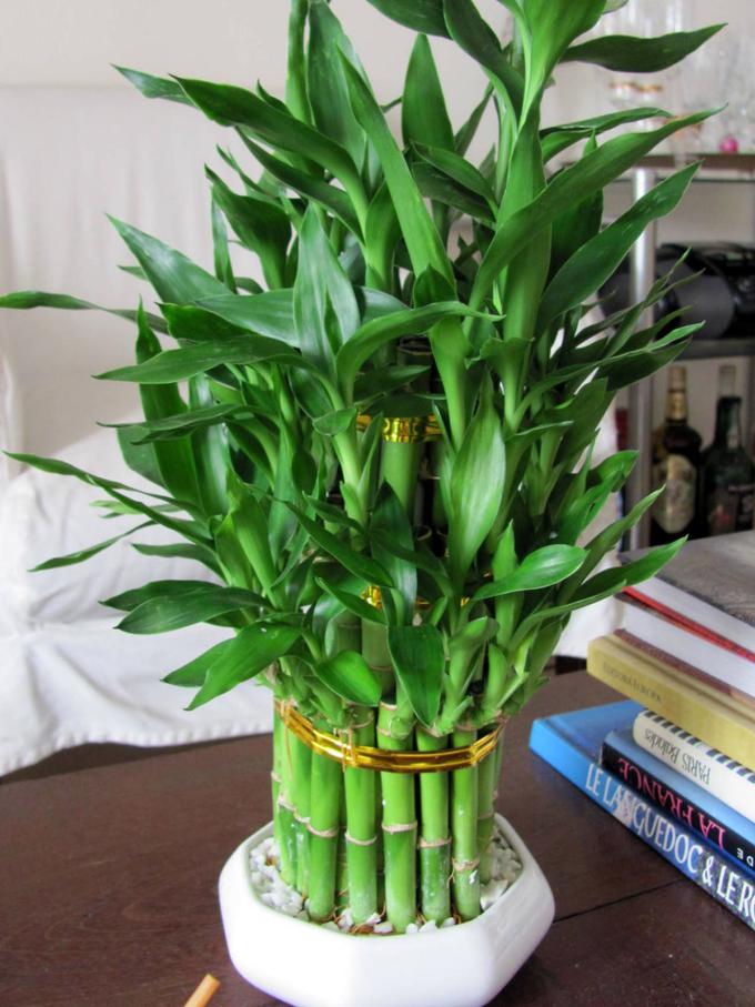 komnatnyj-bambuk-v-dome-1