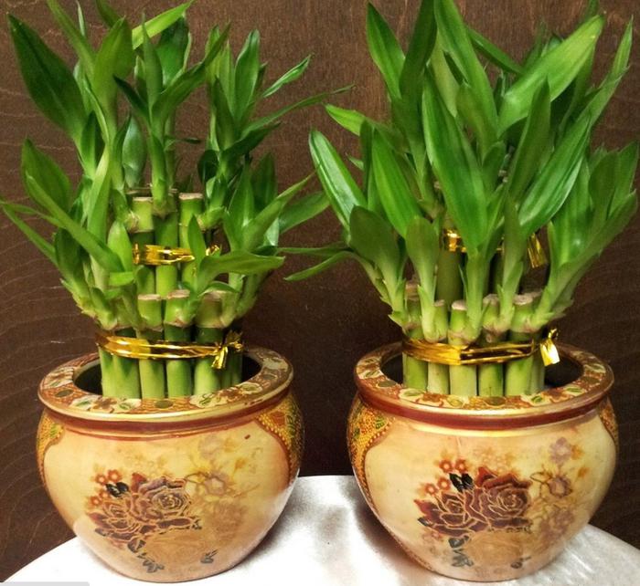 komnatnyj-bambuk-krasivye-idei