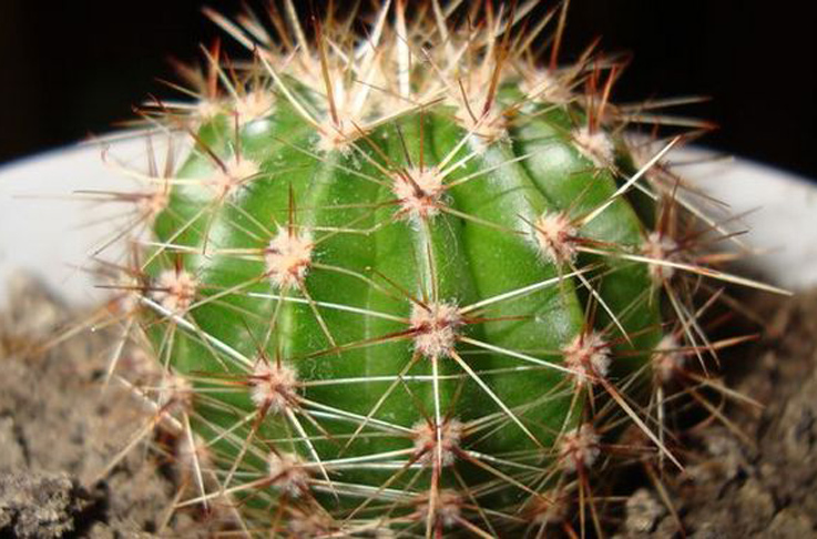Размножение кактусов методом черенкования
