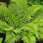 Примеры папоротниковых растений: признаки и строение