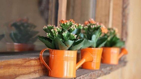 Цветок каланхоэ - уход в домашних условиях, возможные проблемы