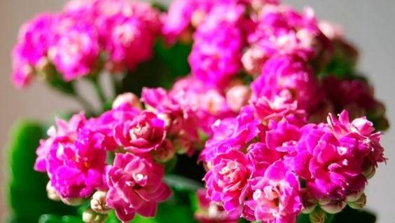 Каландива. Цветок каланхоэ - уход в домашних условиях, возможные проблемы