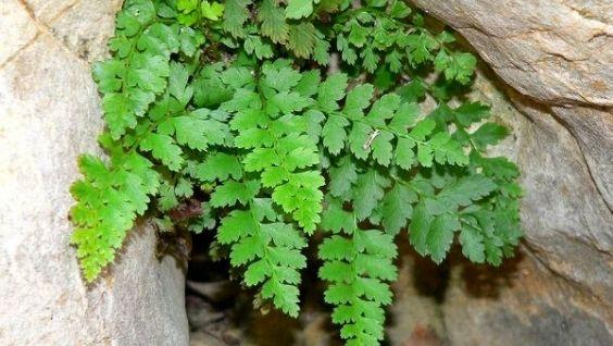 Скальные папоротники. Примеры папоротниковых растений - признаки и строение