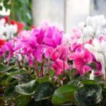 Цикламен – растение, которое порадует вас нежными цветами в холодную зиму: разновидности, особенности домашнего ухода