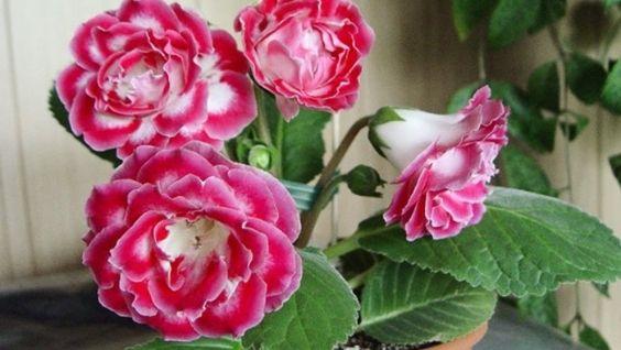 Как называется цветок любви комнатный