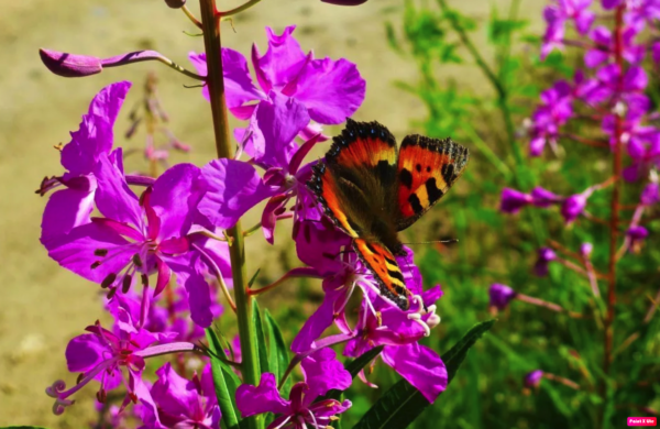 бабочка на кипрее