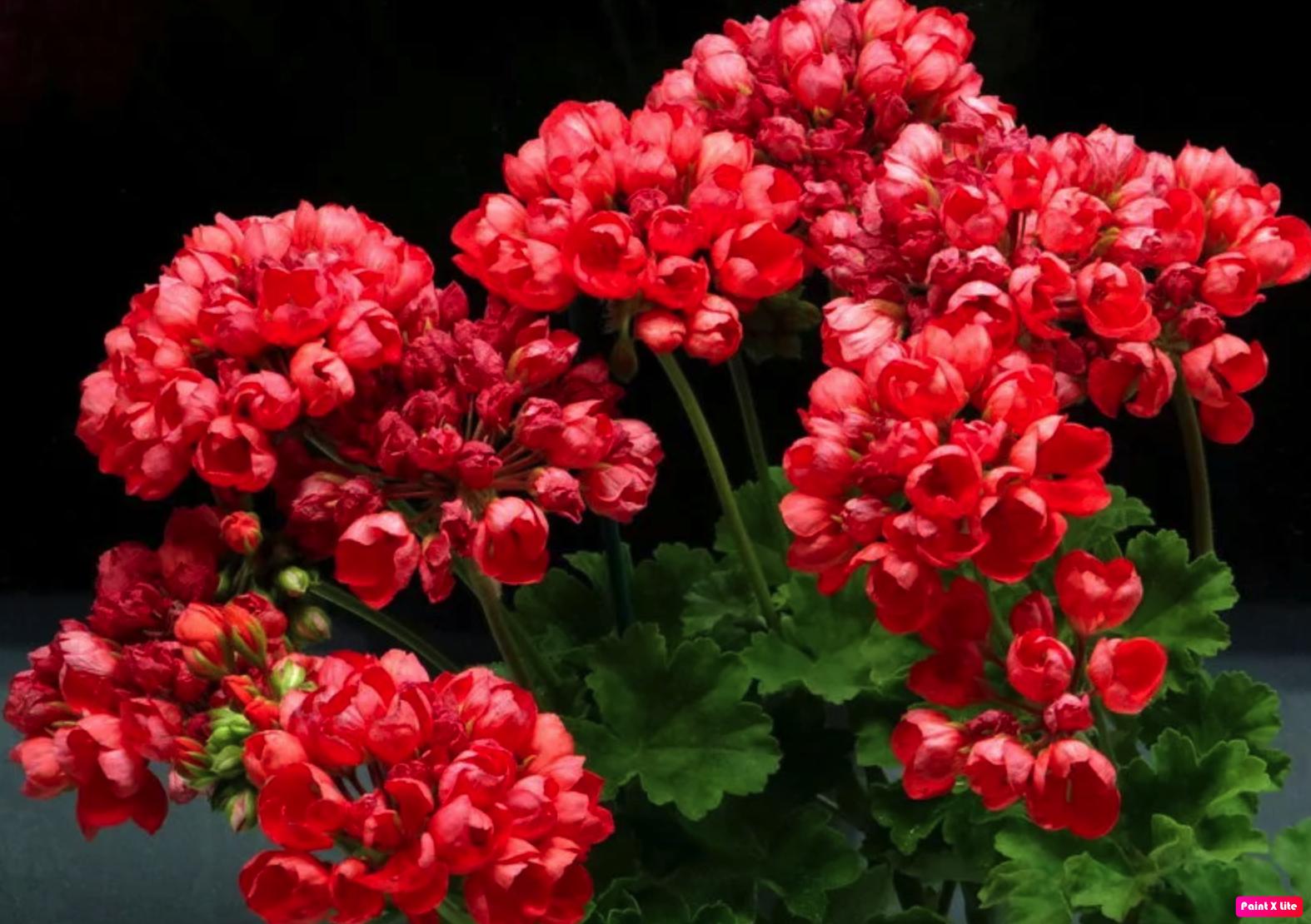 герань тюльпановидной формы