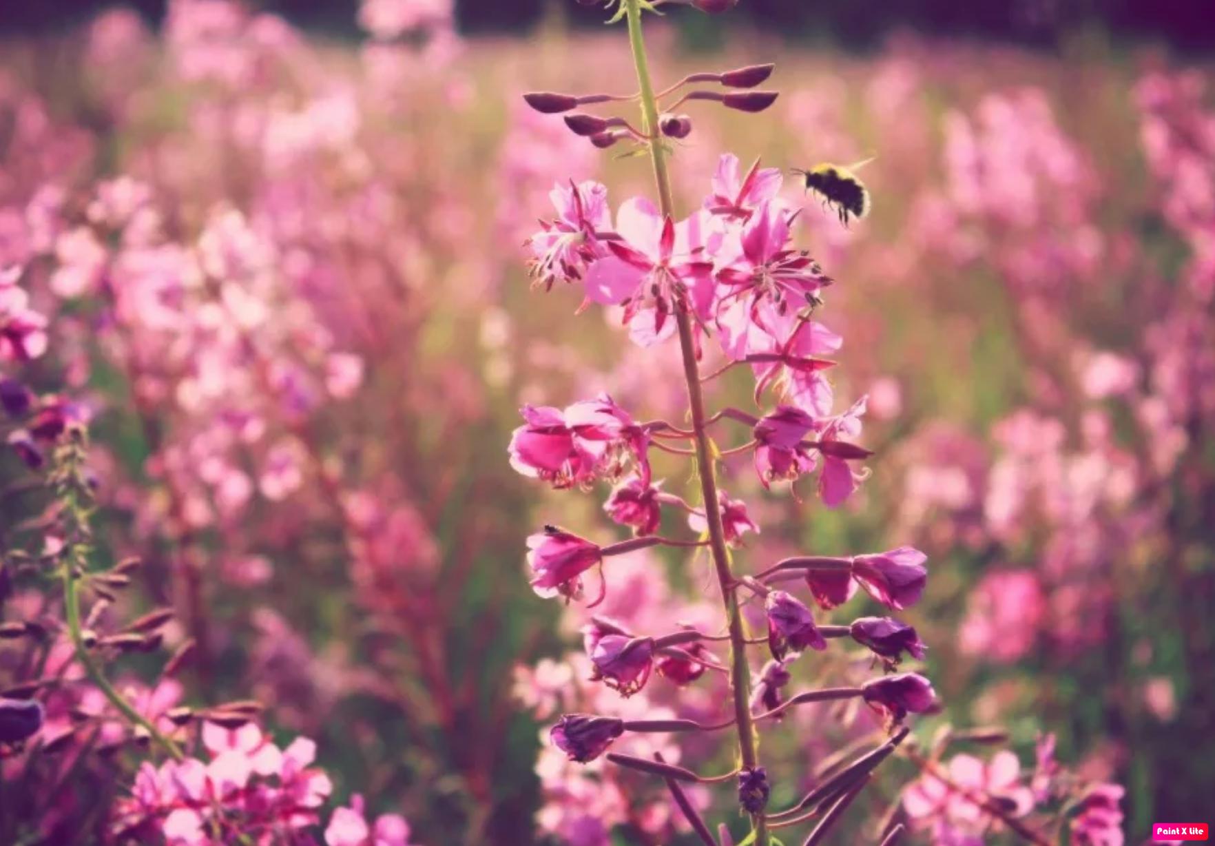пчела на кипрее