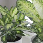 Цветок диффенбахия: посадка и уход в домашних условиях, размножение, приметы, почему нельзя держать дома, фото