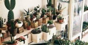 Как ухаживать за комнатными кактусами? Картинка - кактус