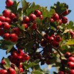 Растение — боярышник: популярные сорта и виды