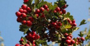 Боярышник дерево фото, виды, выращивание, полезные свойства