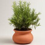 Розмарин (фото растения) — советы, секреты, рекомендации