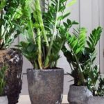Символ богатства — замиокулькас: особенности выращивания долларового дерева в комнатных условиях