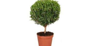Комнатное растение мирт фото, виды, описание, особенности