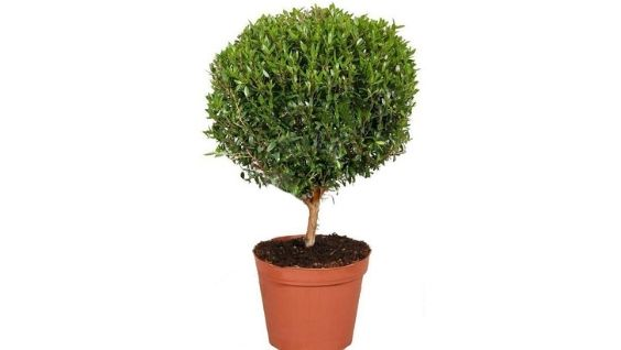 Миртовое дерево: уход в домашних условиях, полезные свойства, приметы и суеверия, сохнет что делать, фото растения