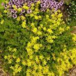 Варианты посадки и ухода за седумом: основные виды и способы размножения