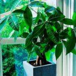 Пахира: все нюансы ухода за растением в домашних условиях