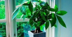 Комнатное растение пахира