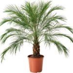 Финиковая пальма: как вырастить в домашних условиях (из косточки), уход, фото, виды, рост