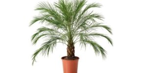 Финиковое дерево фото, особенности выращивания из косточки