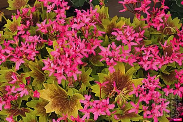 lotusland пеларгония