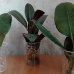 Размножить фикус: как это сделать листом, семенами и иными способами в домашних условиях, как правильно рассадить и укоренить растение?