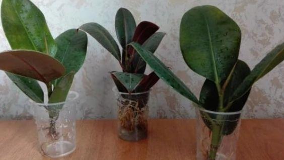 Фикус: как размножить в домашних условиях