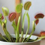 Венерина мухоловка в домашних условиях, уход, фото цветка, размножение