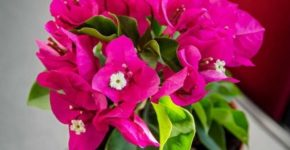Цветок Бугенвиллия комнатная