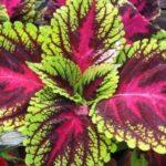 Колеус: посадка и уход в открытом грунте, выращивание из семян