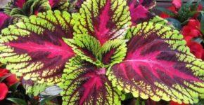 Колеус цветок: фото, особенности ухода