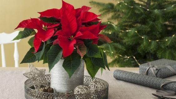 Рождественский цветок, или прекрасная пуансеттия: уход в домашних условиях, размножение и борьба с вредителями
