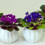 Толстянка: уход в домашних условиях, и как ухаживать за комнатным растением зимой, как размножать и выращивать денежное дерево, и как выглядит цветок?