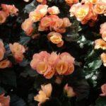 Цветок бегония: фото и как за ним ухаживать, размножение, почему не цветет, виды (в том числе вечноцветущая) и их особенности