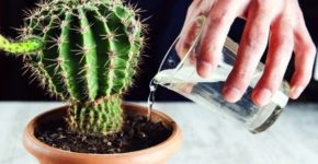 Кактус: сколько поливать, как ухаживать, виды, фото