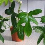 Филодендрон — виды и названия, уход в домашних условиях