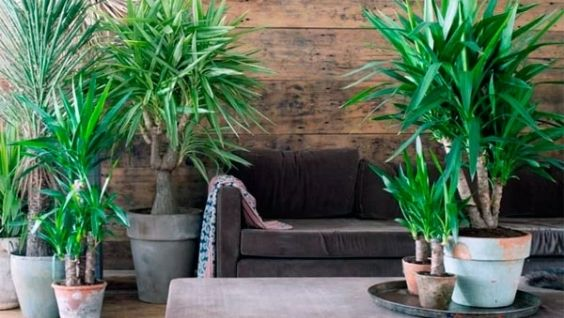 Растение юкка, его комнатные виды и их фото, а так же размножение в домашних условиях