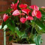 Антуриум уход в домашних условиях: полив, как омолодить растение, болезни и вредители, не растет и не цветет