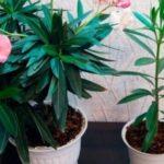 Узнаем насколько ядовит цветок Олеандра и где можно держать его в нашем доме?