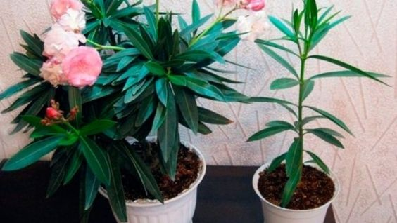 Олеандр цветок: фото, уход, виды