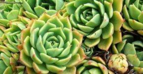 Эхеверия размножение листом. Уход в домашних условиях