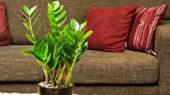 Долларовое дерево: уход в домашних условиях, пересадка