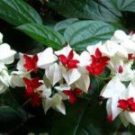 Цветок клеродендрум: уход в домашних условиях, фото, почему не цветет и желтеет