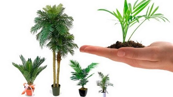 Комнатные пальмы: разновидности и правила ухода