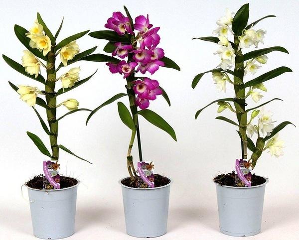 Дендробиум Нобиле, уход в домашних условиях: что делать дальше после цветения бамбуковой орхидеи, почему желтеют листья; пересадка, грунт, полив, размножение деток