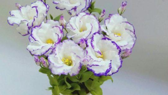 Эустома, или лизиантус: посадка, уход, выращивание из семян в домашних условиях и в открытом грунте, в том числе многолетних сортов