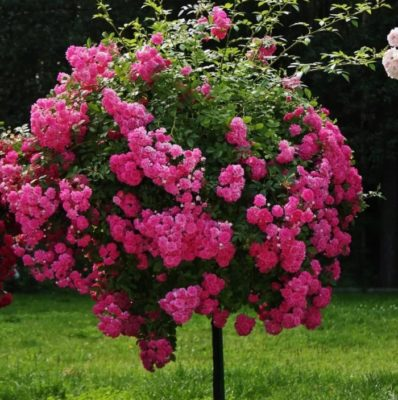 факты о розах