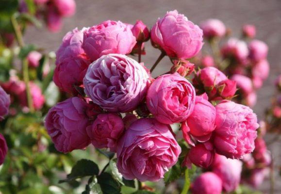роза интересные факты