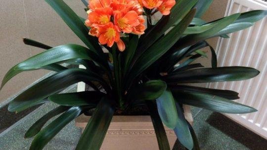 Кливия – эффектный и неприхотливый цветок, все нюансы ухода